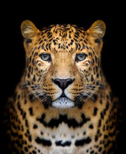 Close up leopard portrait on dark background